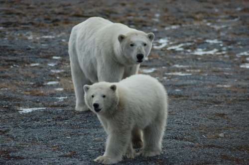 small resolution of first tally of u s russia polar bears finds a healthy population