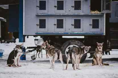 A team of dogs anxiously await for their time to shine