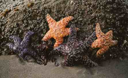 Starfish at low tide on Second Beach.