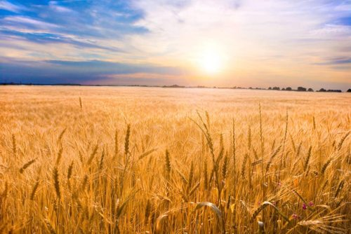 Golden wheat ready for harvest growing in a farm field under blue sky. With a brilliantly detailed foreground