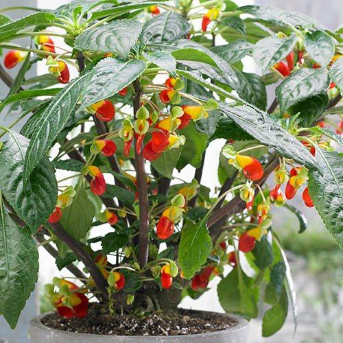 Parrot Plant Impatiens Niamniamensis
