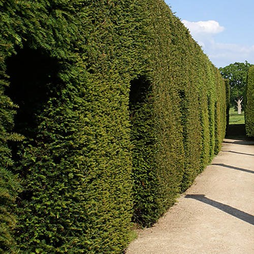 Yew Hedging Plant  Taxus baccata