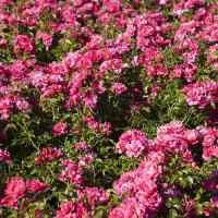 Groundcover Rose 'Flower Carpet Pink'