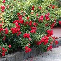 Groundcover Rose 'Flower Carpet Scarlet'