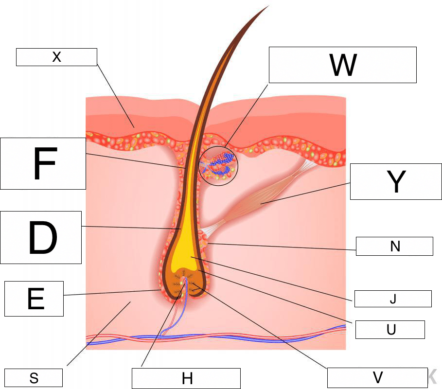 integumentary system diagram labeled 05 honda accord ac wiring hair to label data the lesson 0384 tqa explorer root cell