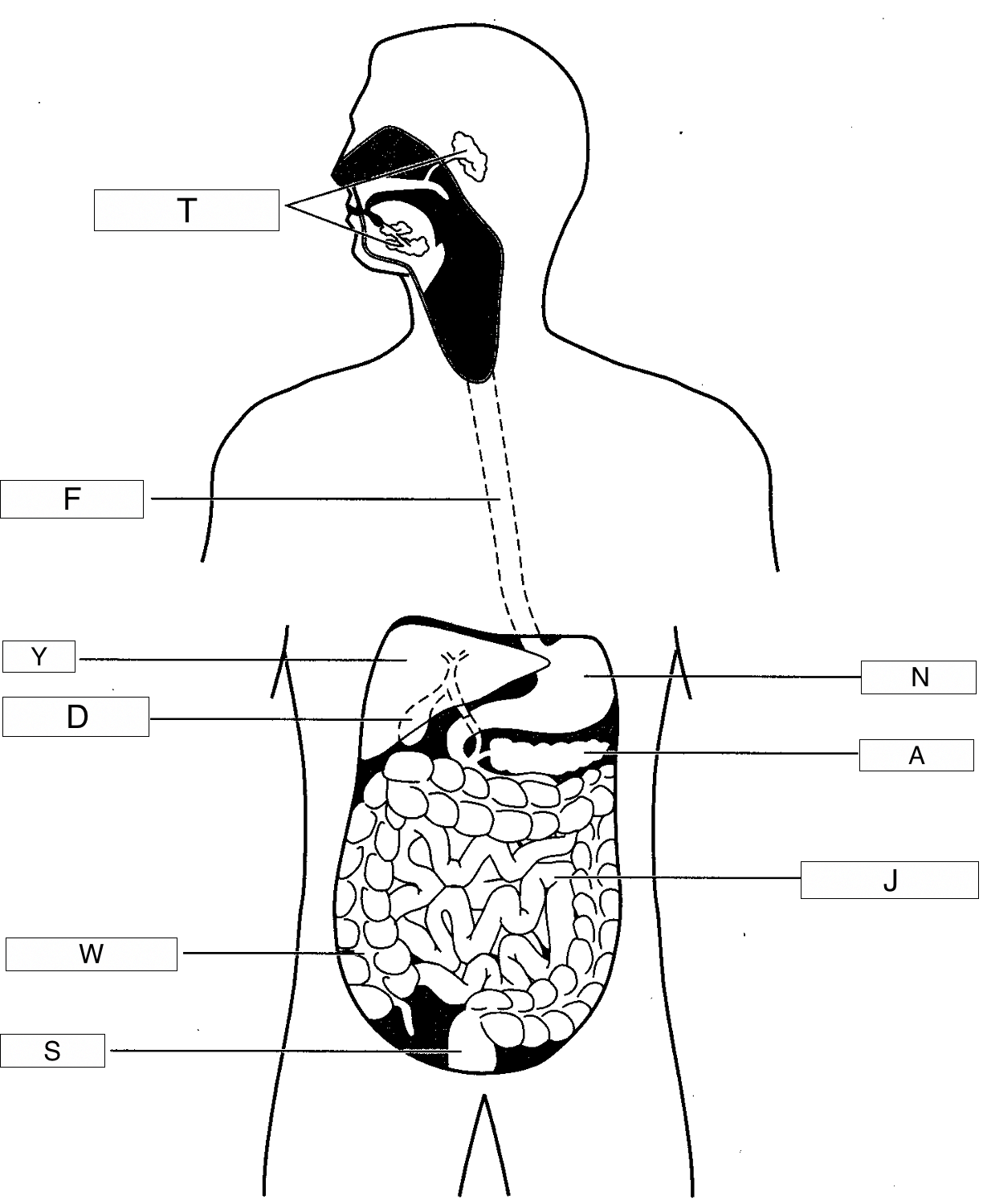 Diagram Of Saliva