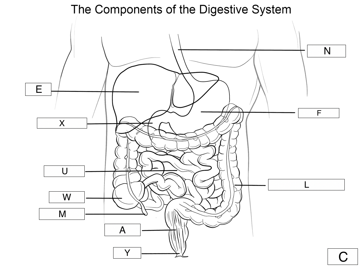hight resolution of which label shows the stomach