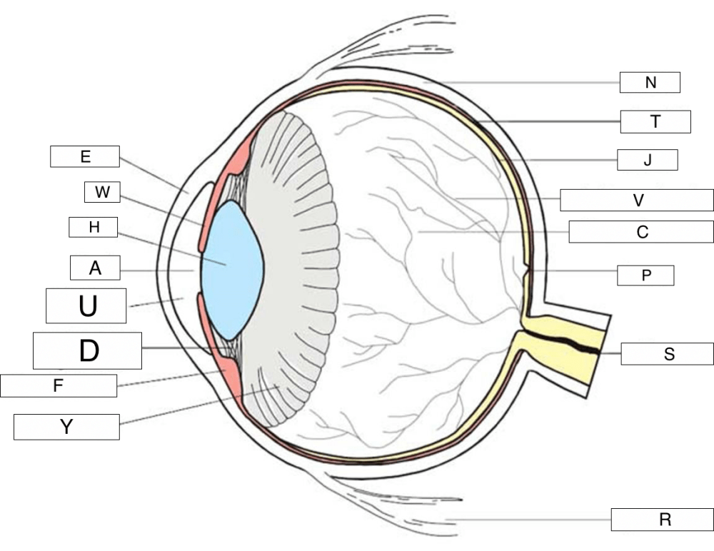 medium resolution of where is the outer front layer of the eye