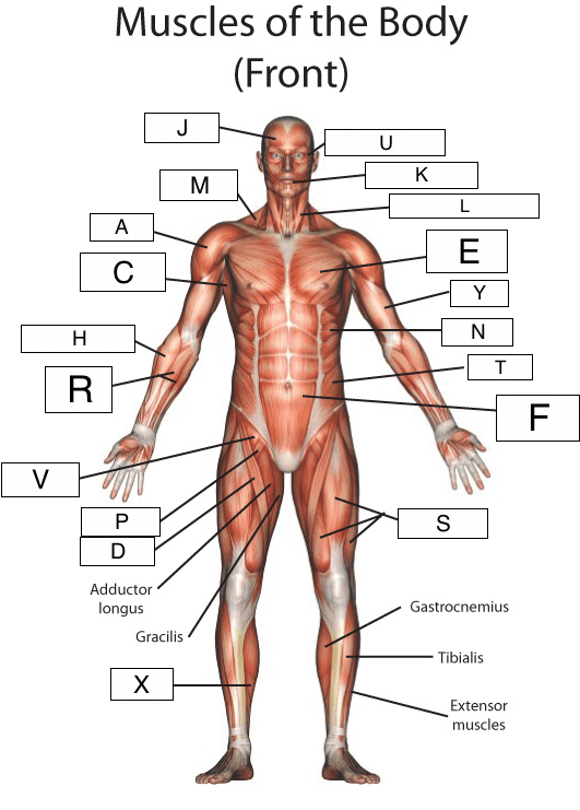 human muscles diagram labeled front and back fluorescent light wiring uk the muscular system lesson 0386 tqa explorer select trapezius muscle