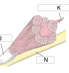 what connects the muscle and the bone  [ 1024 x 768 Pixel ]