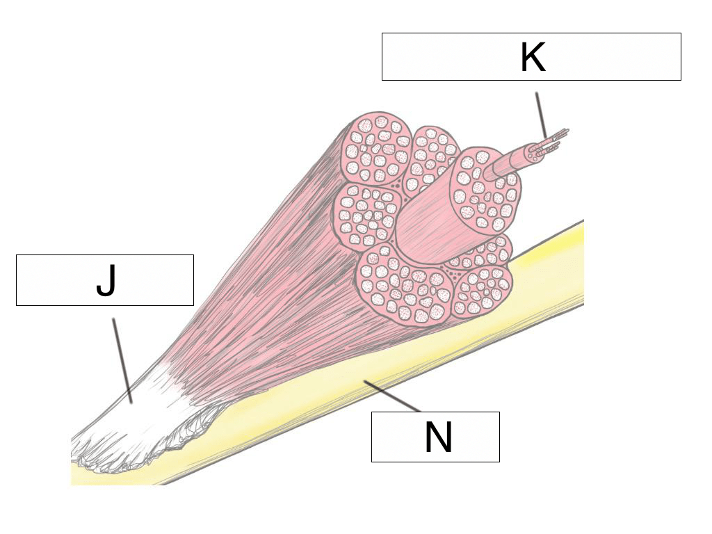 hight resolution of what connects the muscle and the bone