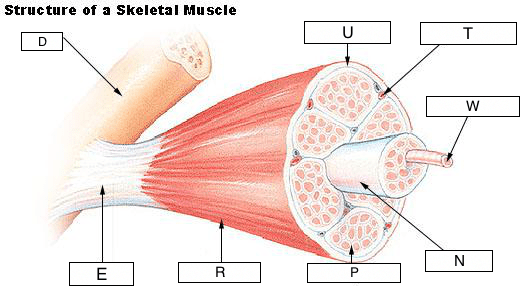 skeletal muscle diagram labeled alternator internal regulator wiring structure of to label diagrams control hubs lung with labels