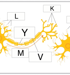 which of these letters denotes the part of the nerve cell that receives impulses from other cells  [ 1500 x 1035 Pixel ]