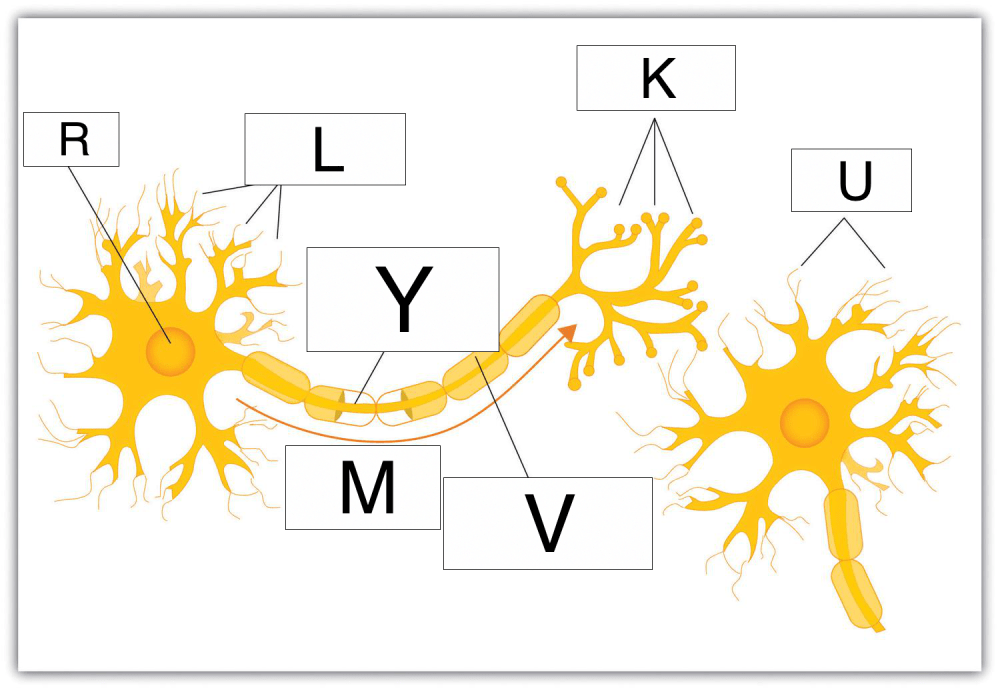 medium resolution of which of these letters denotes the part of the nerve cell that receives impulses from other cells
