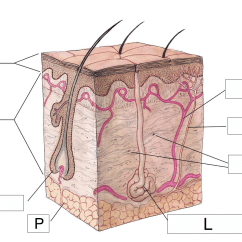 Skin Cross Section Diagram Lennox Electric Furnace Wiring The Integumentary System Lesson 0384 Tqa Explorer