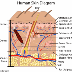 Integumentary System Diagram Labeled Wylex Consumer Unit Wiring Skin Layer Project Diagrams Thumbs The Lesson 0384 Tqa Explorer Layers Simple
