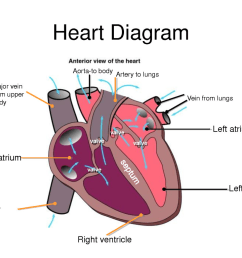 left atrium receives deoxygenated blood from the body through the vena cava and pumps it into the right ventricle which then sends it to the lungs to be  [ 1024 x 768 Pixel ]