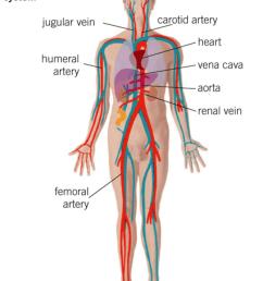 a femoral artery b carotid artery c vena cava d jugular vein [ 1024 x 1326 Pixel ]