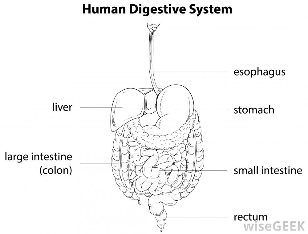Wiring And Diagram: Labeled Simple Diagram Of Digestive System