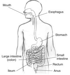 from the diagram in how many parts of the digestive system does mechanical digestion take place  [ 1324 x 1500 Pixel ]
