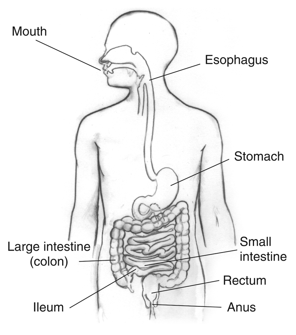 medium resolution of from the diagram in how many parts of the digestive system does mechanical digestion take place