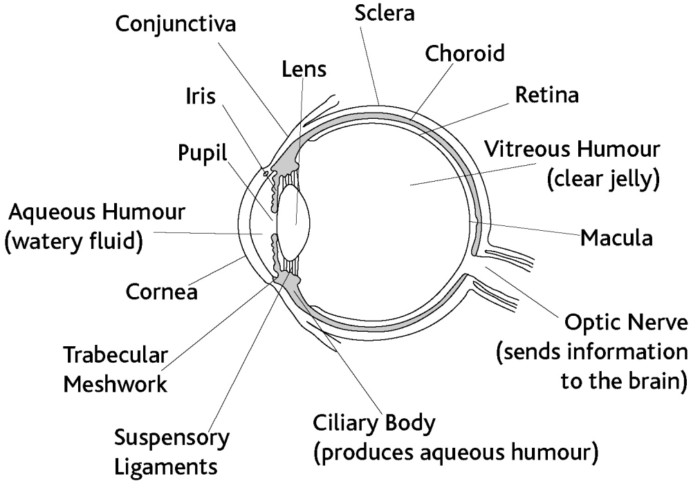 medium resolution of what s inside the macula