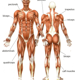 how many muscles are shown in this picture  [ 1201 x 1500 Pixel ]