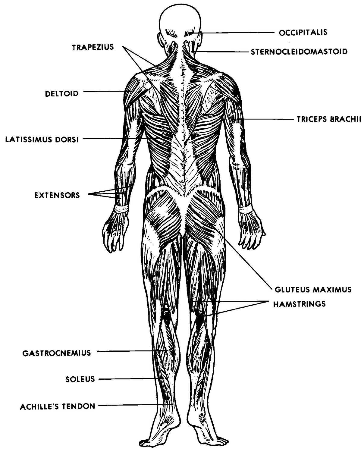 major muscle diagram to label yankee stadium seating the muscular system lesson 0386 tqa explorer