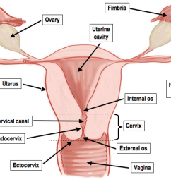 what connects the ovary to the uterine cavity  [ 1024 x 815 Pixel ]