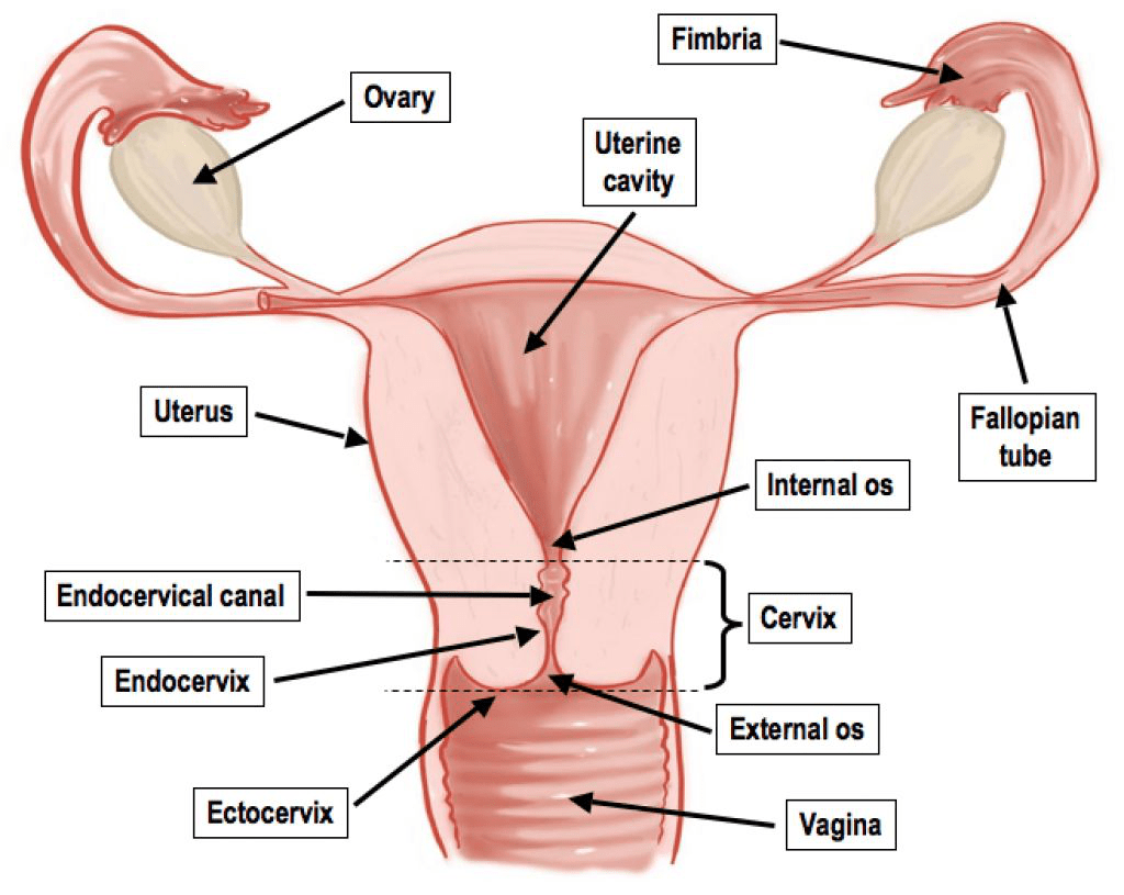 hight resolution of what connects the ovary to the uterine cavity