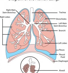 where in the lungs does gas exchange take place  [ 1000 x 1149 Pixel ]