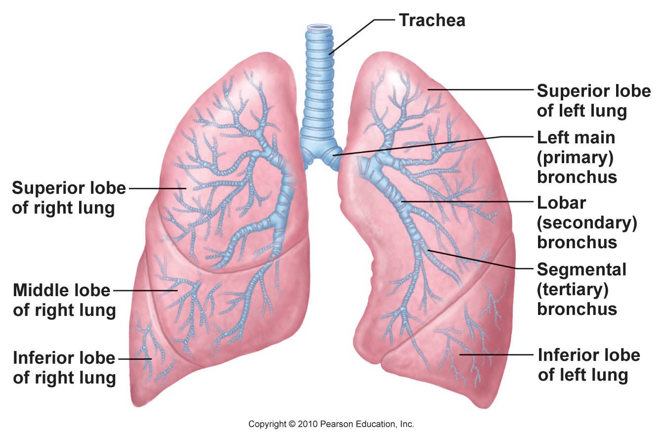 lung lobes diagram directv swm 30 wiring the respiratory system lesson 0393 tqa explorer