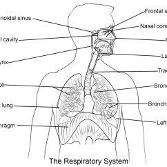 Label The Following Diagram Of Respiratory System 2000 Jeep Wrangler Wiring Lesson 0393 Tqa Explorer Which Structure Is Responsible For Filtering Dross From Air