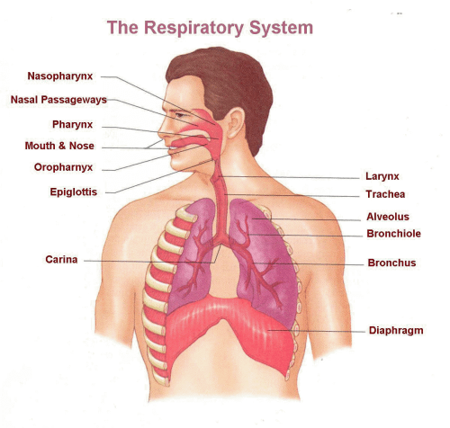 small resolution of what part is immediately above the trachea