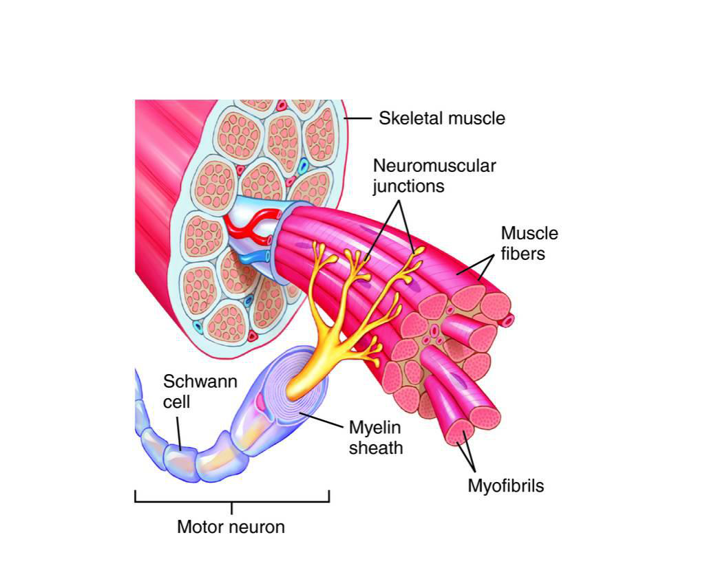 muscle fiber diagram rheem furnace the muscular system lesson 0386 tqa explorer