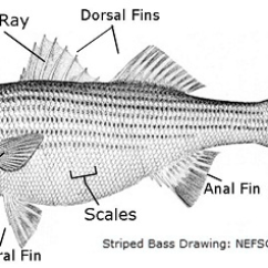 Labelled Diagram Of A Tilapia Fish Ford Ka 2002 Radio Wiring Labeled Menu Bizzybeesevents Com Ray Label Rh 72 Yoga Neuwied De Well
