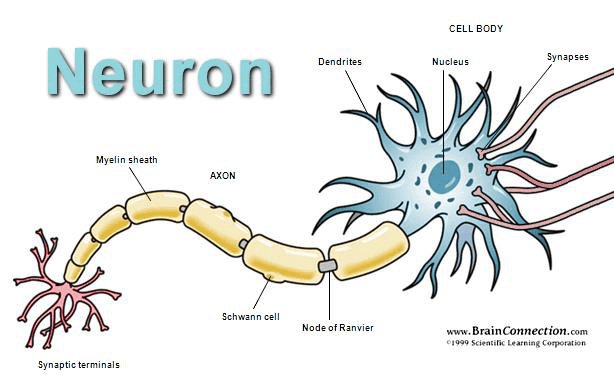 labelled diagram of nerve cell square d wiring the nervous system lesson 0398 tqa explorer what is a junction between two cells consisting minute gap across which impulses pass by diffusion neurotransmitter