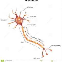Nerve Cell Diagram Blank Speaker Wiring Crutchfield The Nervous System Lesson 0398 Tqa Explorer