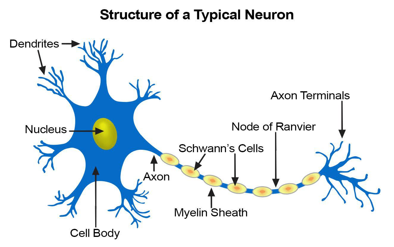 labelled diagram of nerve cell refrigerator wiring whirlpool the nervous system lesson 0398 tqa explorer what is at center body