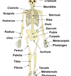 what bone protects the brain  [ 1024 x 1182 Pixel ]