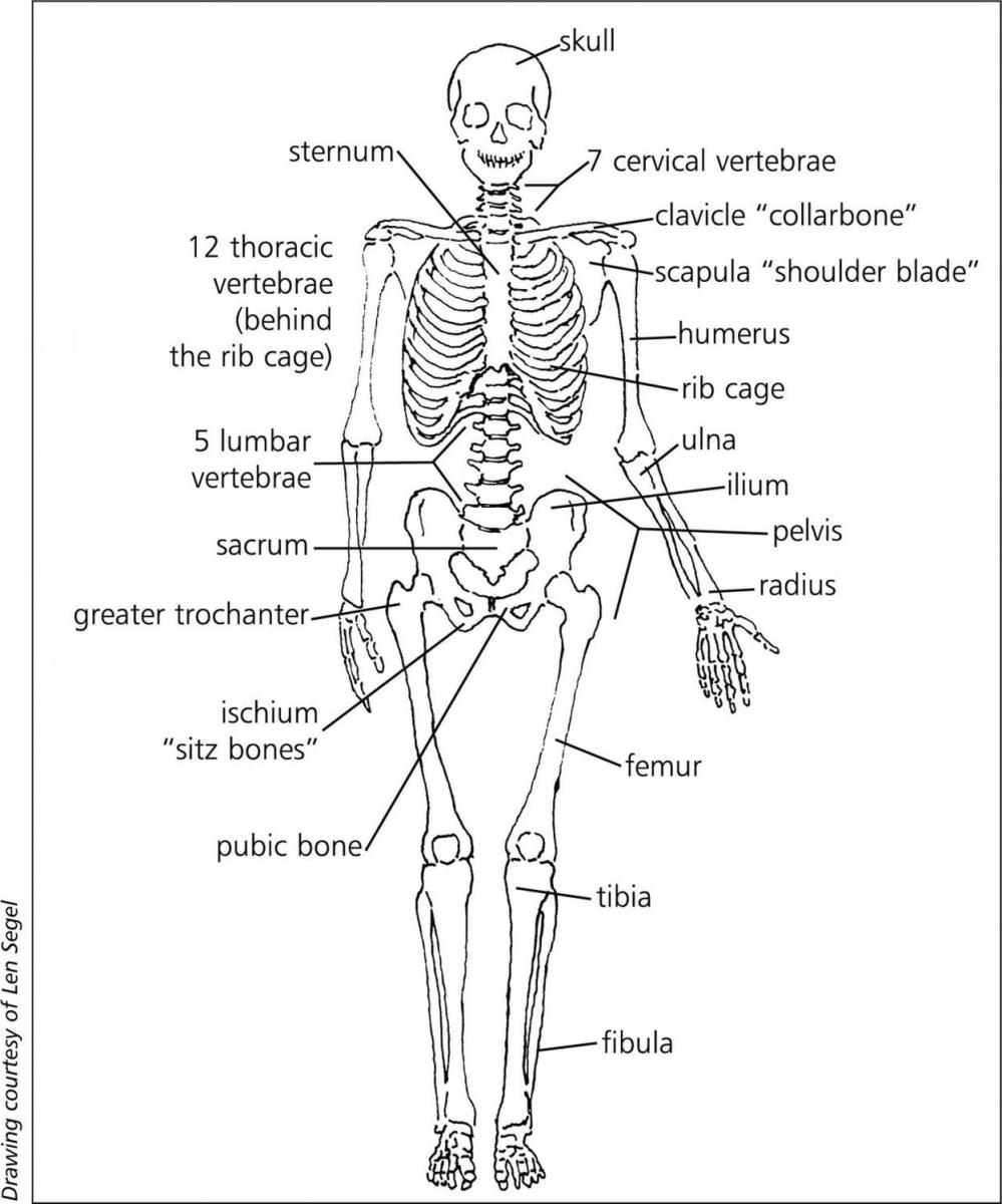 medium resolution of sternum d pelvis