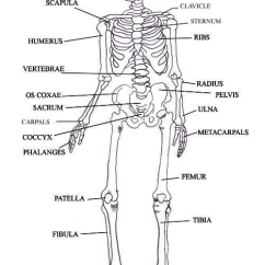Diagram Of Skeletal Ribs 2004 Chevy Venture Radio Wiring The System Lesson 0385 Tqa Explorer Question Image