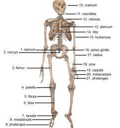 what is the topmost part of the skeletal system  [ 1322 x 1499 Pixel ]