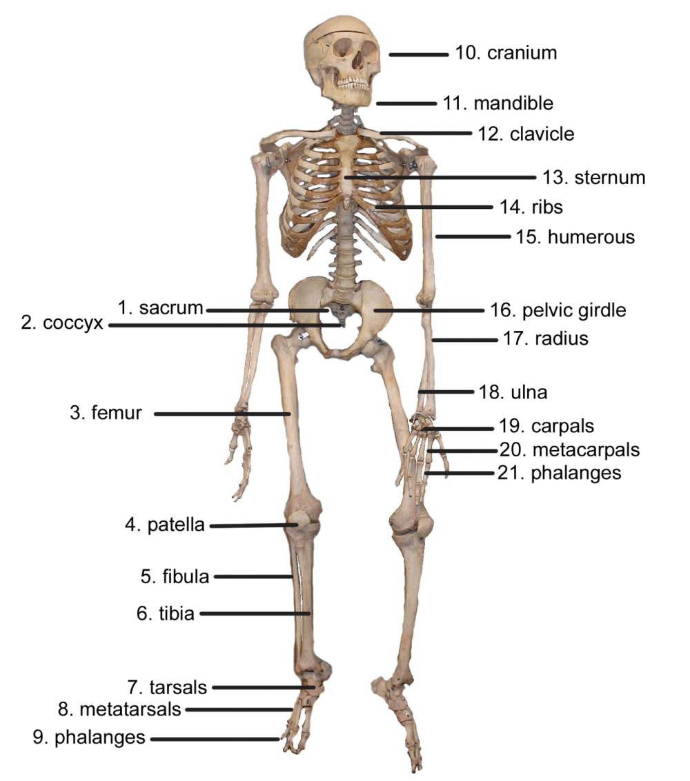 medium resolution of what is the topmost part of the skeletal system