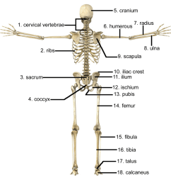 what bone is located on the upper arm  [ 1500 x 1469 Pixel ]