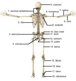 a femur b cranium c cervical vertebrae d radius [ 1500 x 1469 Pixel ]
