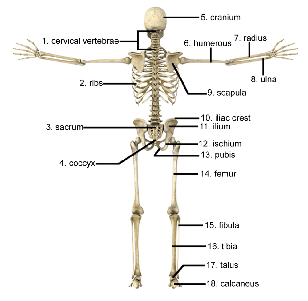 medium resolution of cervical vertebrae d radius