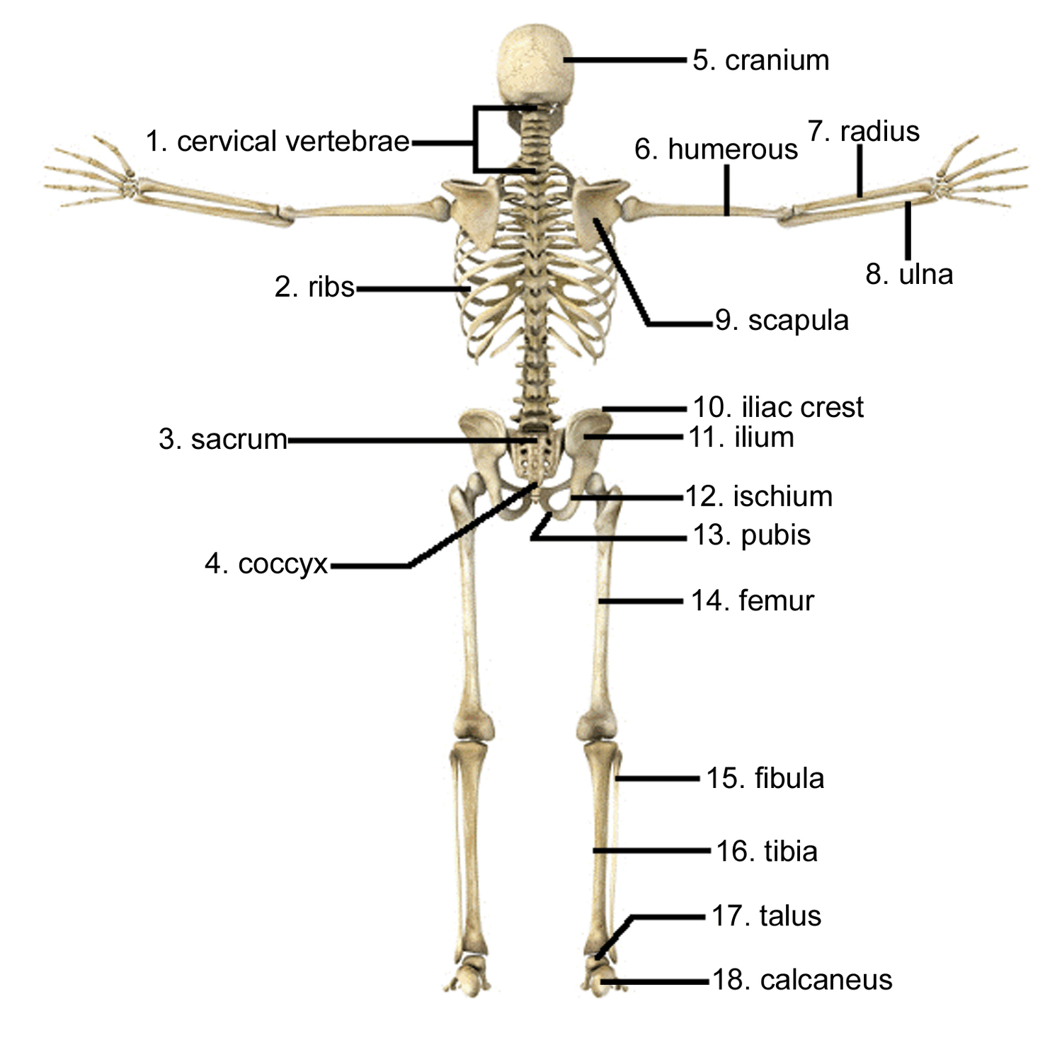 hight resolution of cervical vertebrae d radius