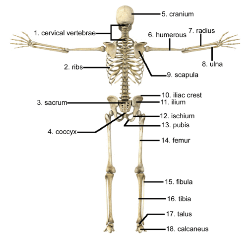 small resolution of what bone is located on the upper arm