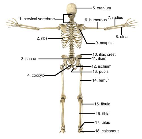small resolution of a femur b cranium c cervical vertebrae d radius